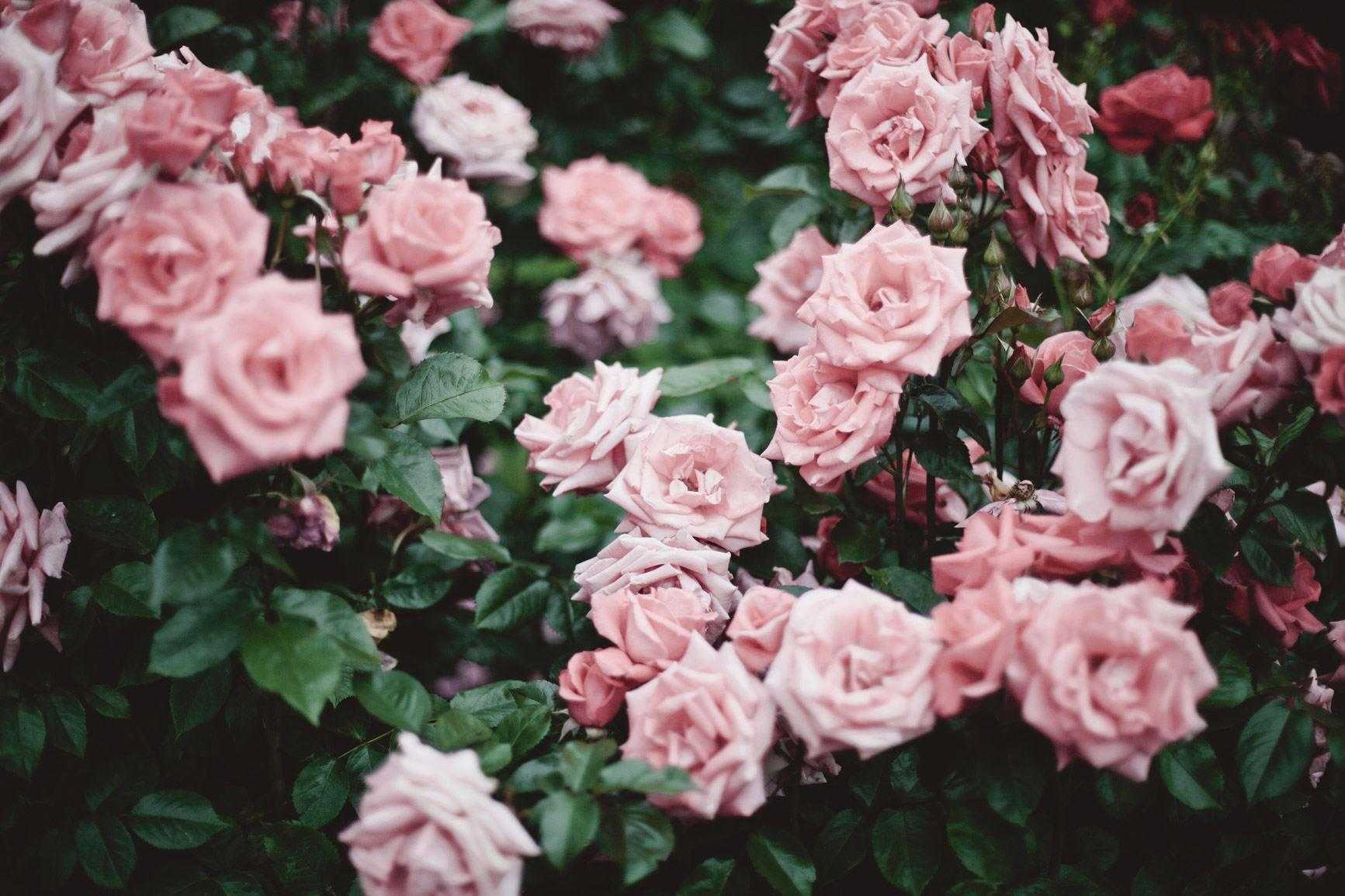 close up of pink roses at Portland Rose Garden