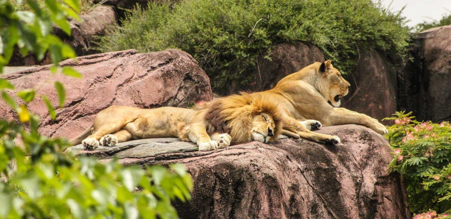 two lions lying down on rocks
