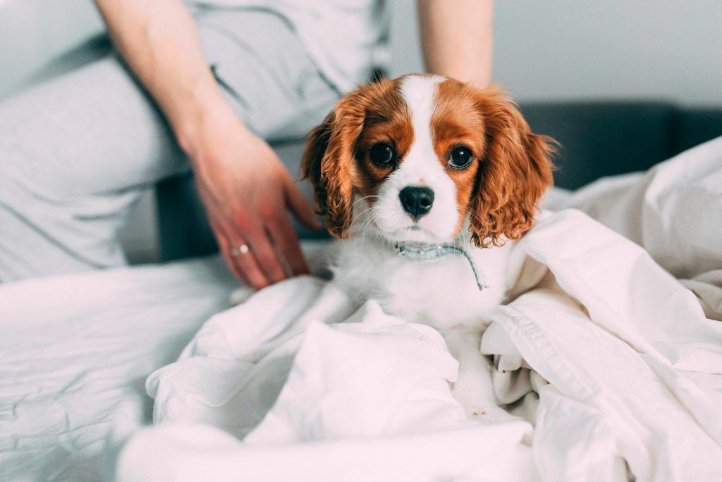 Puppy with brown and white face on a bed