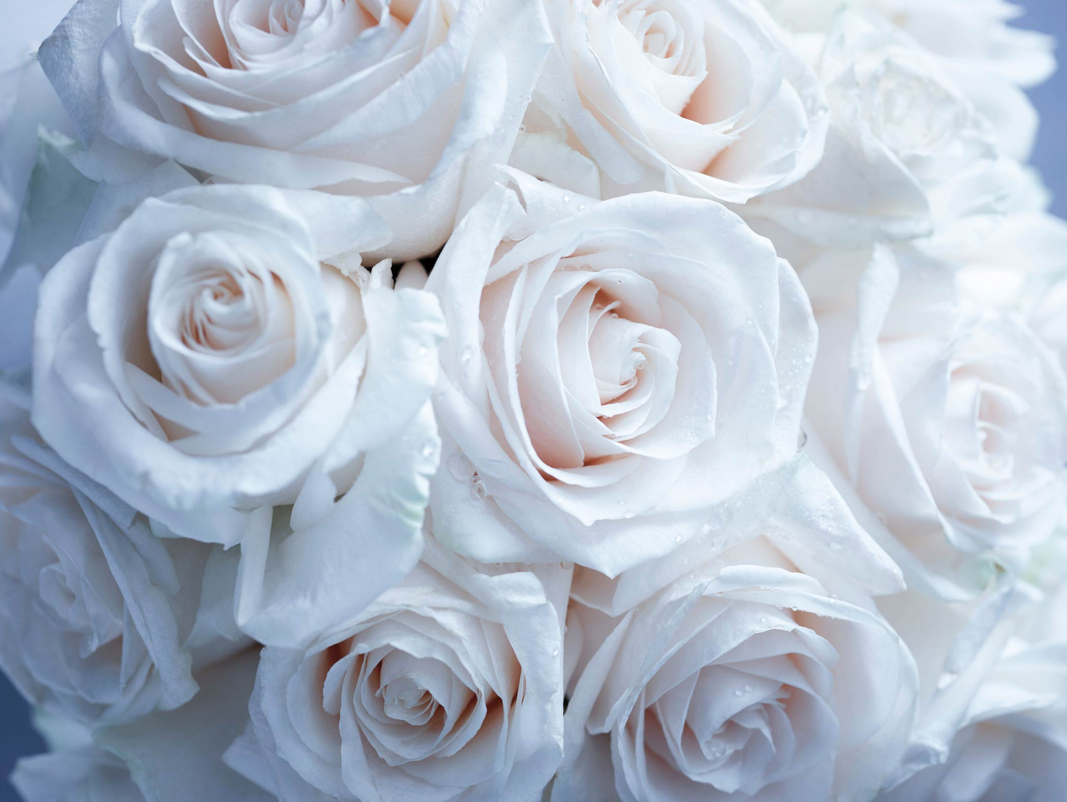 Group of white roses