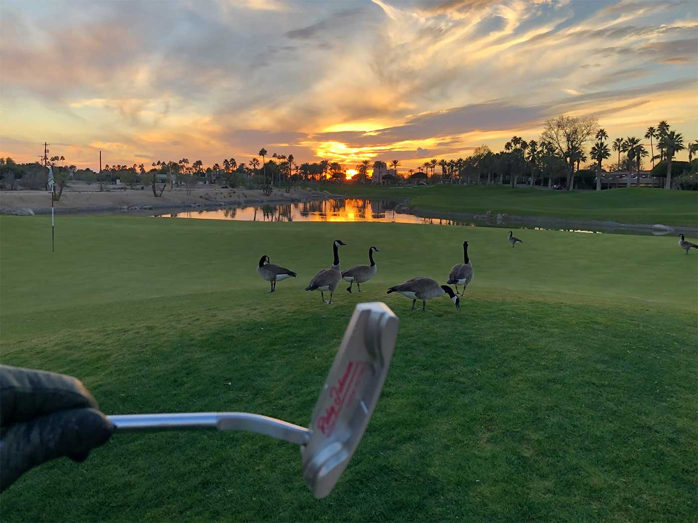 geese walk on The Phoenician Golf Course early in the morning