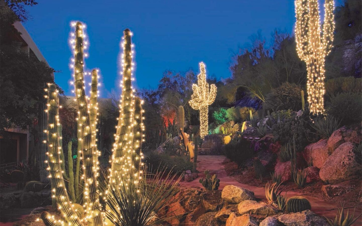 Resort cactus garden lit up for the holidays with tall cacti covered in string lights